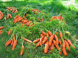 barb's-carrots