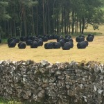 Black marshmallows for cows